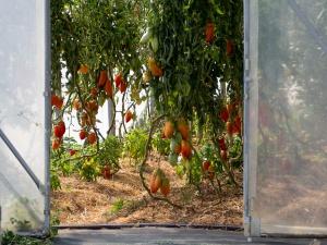 Jardins de la Marette : culture bio des poivrons