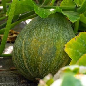 Jardins de la Marette : les courges bio