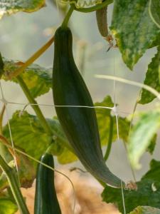 Jardins de la Marette : culture des concombres