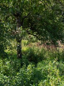 Jardins de la Marette : Plante aromatique- le Sureau