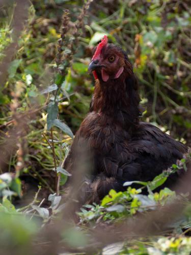 Les poules des Jardins de la Marette