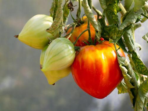 Les tomates des Jardins de la Marette